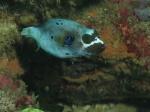 Dog-faced pufferfish